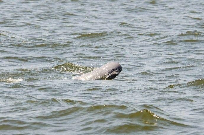 Irrawaddy Dolphin Cambodia
